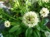 Allium-victorialis
