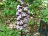 Orchis purpurea in the garden