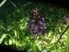 Orchisp urpurea-2