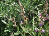 Salvia officinalis 2
